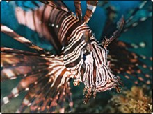 Lionfish can be found when you're diving at Samui Island