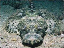 Crocodilefish, Dive The World