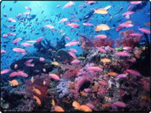 Anthias and soft coral scenery - photo courtesy of Mike Greenfelder