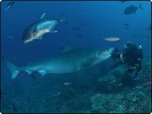 Scarface, the tiger shark - photo coutesy of Beqa Adventures