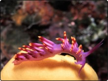 Flabellina nudibranch, found in Fiji