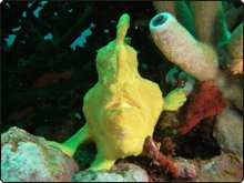 Diving Raja Ampat: Giant yellow frogfish with tube sponge, West Papua, Indonesia - photo courtesy of Sheldon Hey