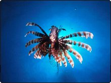 Indian lionfish can be found in Khao Lak, Thailand - photo courtesy of Mike Greenfelder