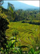 Bali's rice paddy terraces - photo courtesy of JC Pratt, Abyss Diving