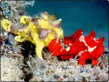 Kapalai diving with ornate and painted frogfish - photo by Kentrick Chin