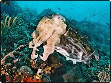 Cuttlefish in Komodo - photo coutesy of the Komodo Dancer