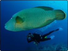 Diving with Napoleon wrasse in the Maldives - photo courtesy of ScubaZoo