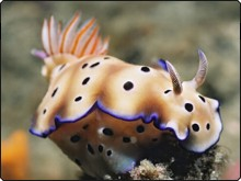 One of the spectacular nudibranchs at Annies Bommies - Dive The World Fiji