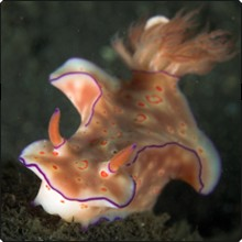Ceratosoma nudibranch in Indonesia - photo courtesy of Richard Buxo