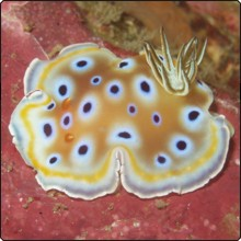 Chromodoris Kuniei Nudibranch at Similan Islands