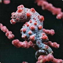 Pygmy seahorse - photo courtesy of Komodo Dancer