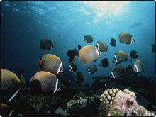 Red-tail Butterfly Fish - Dive The World