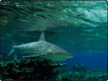 Sharks are a common sight at the Galapagos and Maldives, as well as some of the dive sites in Thailand and Myanmar
