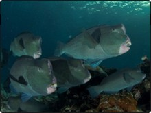 Dive with Bumphead parrotfish in Sipadan Island, Malaysia - photo courtesy of ScubaZoo