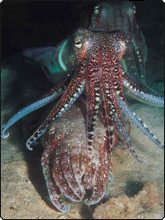 Mating cuttlefish - Dive The World Malaysia - photo courtesy of Borneo Divers