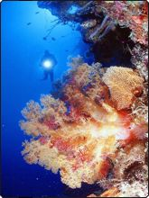 Orange soft coral tree, Wakatobi - photo courtesy of James Watt