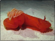 Spanish dancer, one of the larger nudibranch species, in the Red Sea - photo courtesy of Matthias Schmidt