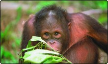 An inquisitive orang-utan, residents at Sepilok forest in Borneo, Malaysia