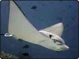An eagle ray from Ariane Lamy's Sachika Maldives liveaboard trip