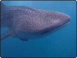 Whale shark in the Maldives - photo courtesy of Cormac Henderson